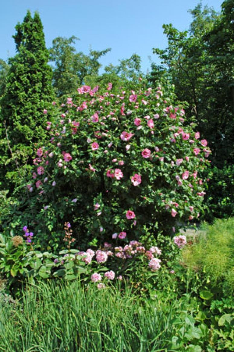 Rose-of-Sharon (Althea bush) | 99.1 The Mix
