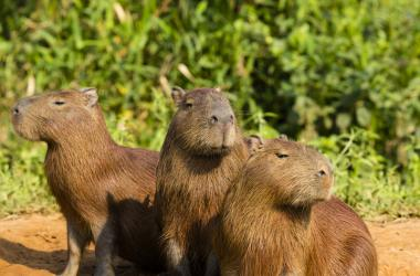 Trio of capybaras