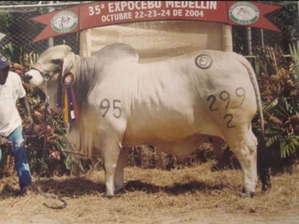 Toro Brahman LA ESMERALDA JUANES 299/2 - Semen