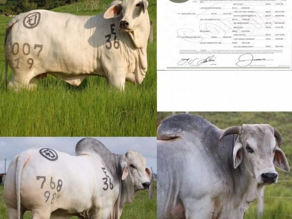 Toro Brahman San Ignacio Mad Alfredo 036/0 - Semen