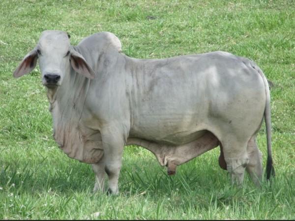 Toro Brahman JM LA VICTTORIANA 777 878/1 - Semen