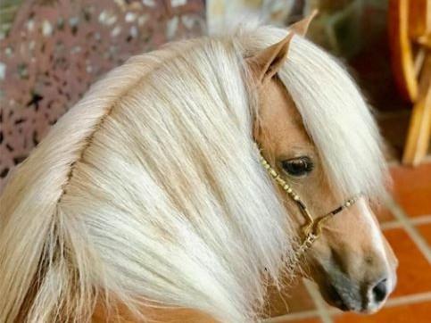 Azteca de San Samuel / Mini Horse / Caballo Mini