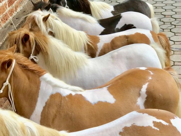 Oferta San Samuel Mini Horses - Caballos Miniatura