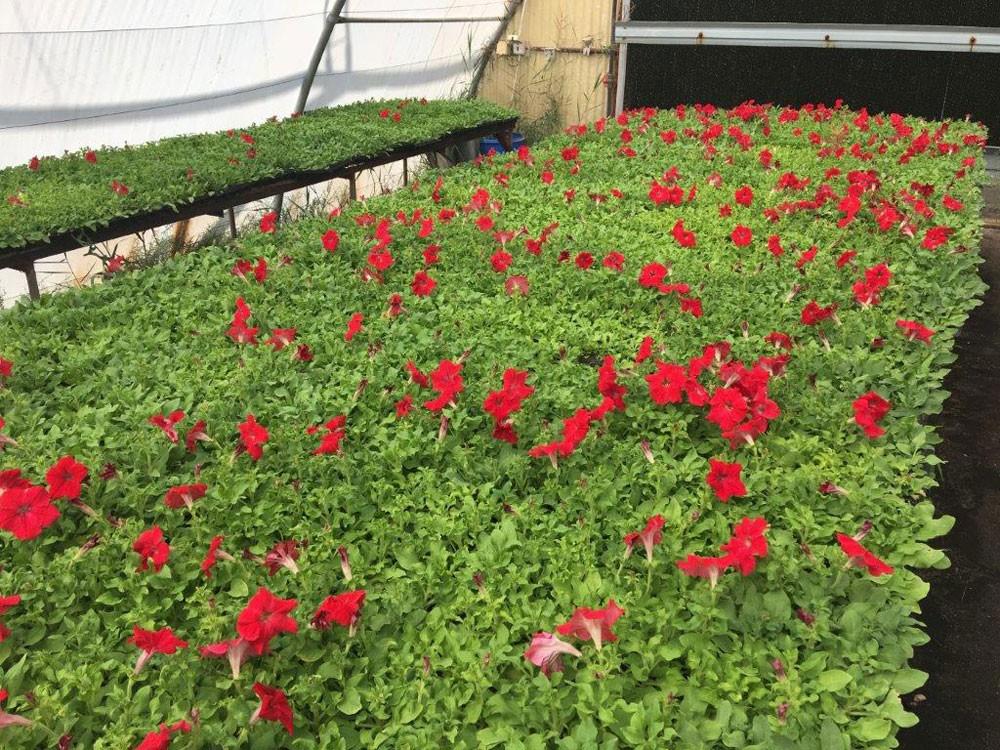 """ابوالفتح: """"شئون البلديات"""" انتتجت 2 مليون وردة ستم زرعتها في محافظات المملكة"""