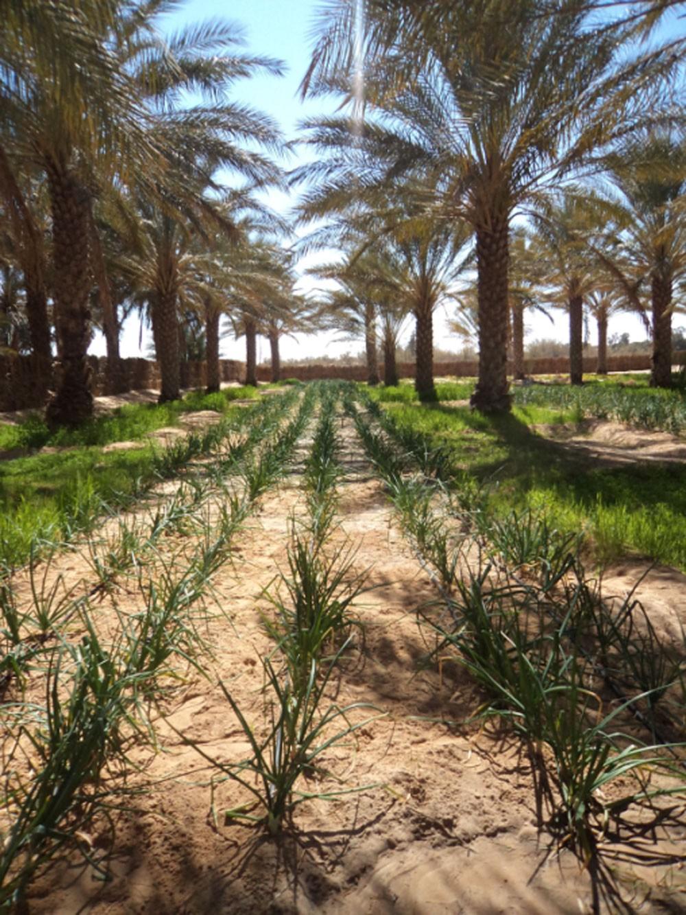 هيئة الثقافة تنظّم جولة إلى مزارع النخيل المحيط بموقع قلعة البحرين