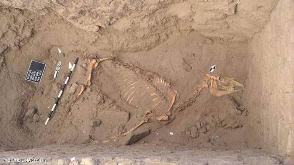 أسرار تاريخية تكشفها رفاة حصان مصري في السودان