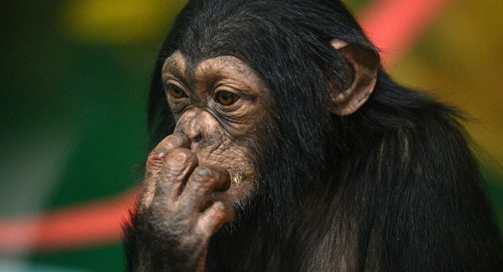 علماء: فراش الشمبانزي أنظف من فراش البشر