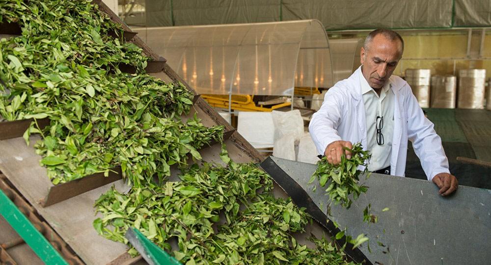 العلماء يستخدمون الشاي الأخضر للقضاء على السرطان