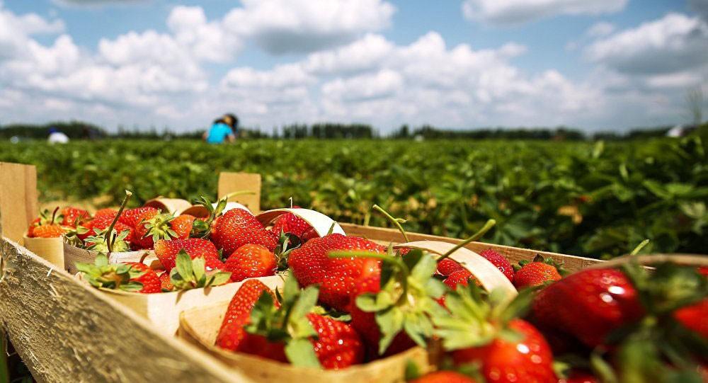 دراسة تكشف عدة فوائد لتناول الكثير من الفراولة