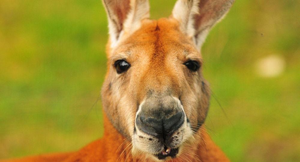 كنغر يهرب من مركز للحيوانات بعد إخراجه من منزل اقتحمه في أستراليا
