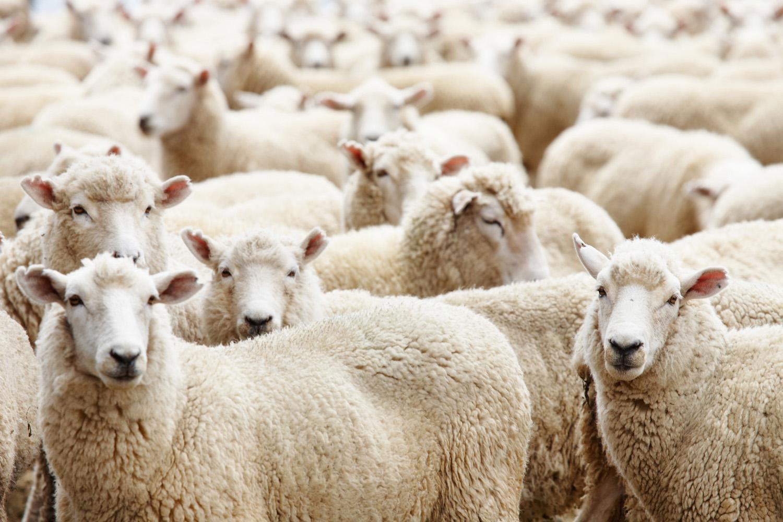 """""""الثروة الحيوانية"""" توفر 35 ألف رأس من الماشية لعيد الأضحى المبارك"""