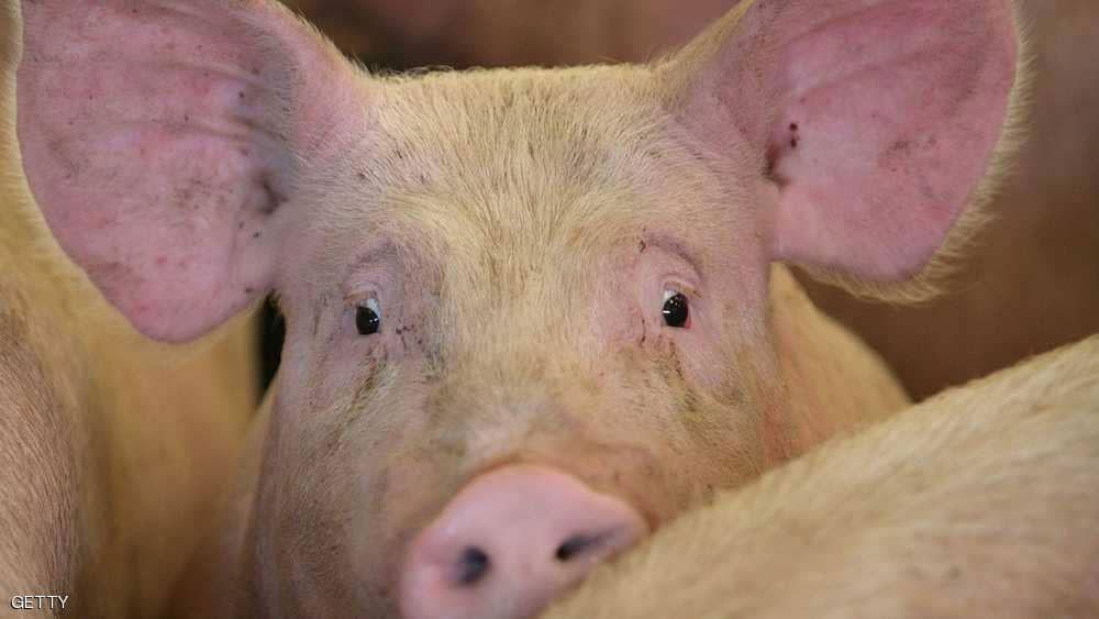 الصين.. إجراءات استباقية لاحتواء وباء حمى الخنازير الإفريقية