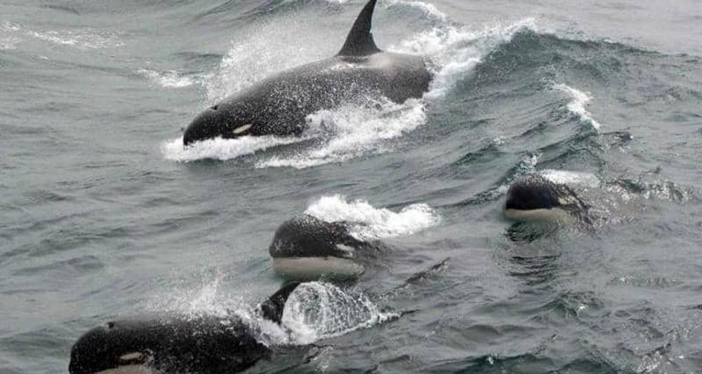 """اكتشاف نوع جديد من الحيتان القاتلة.. ونهاية عقود من """"الشك"""""""