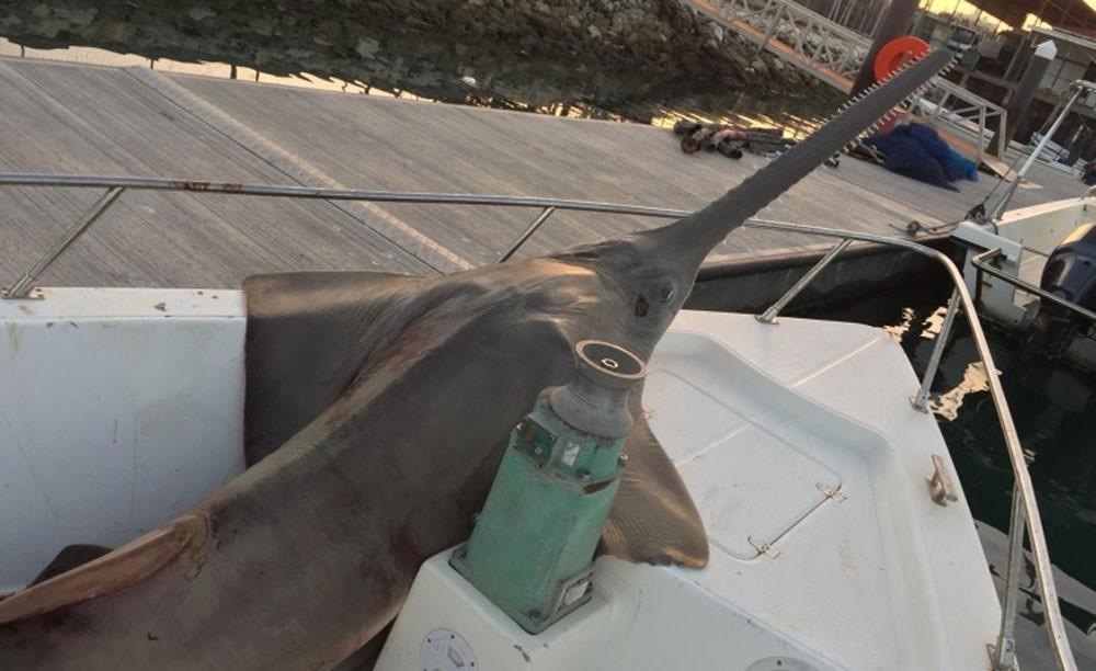"""""""الاعلى للبيئة"""" يوجه لإجراءات على احد الصيادين المخالفين باصطياد سمك """"بوسياف"""""""