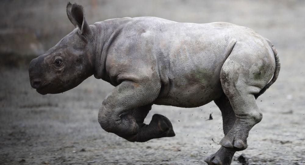 ولادة أول وحيد قرن هندي بالتلقيح الصناعي