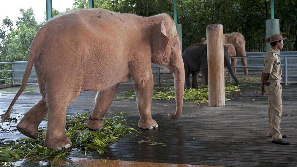 كان يحمي زملاءه من الأسود الهاربة.. فمات تحت أقدام فيل