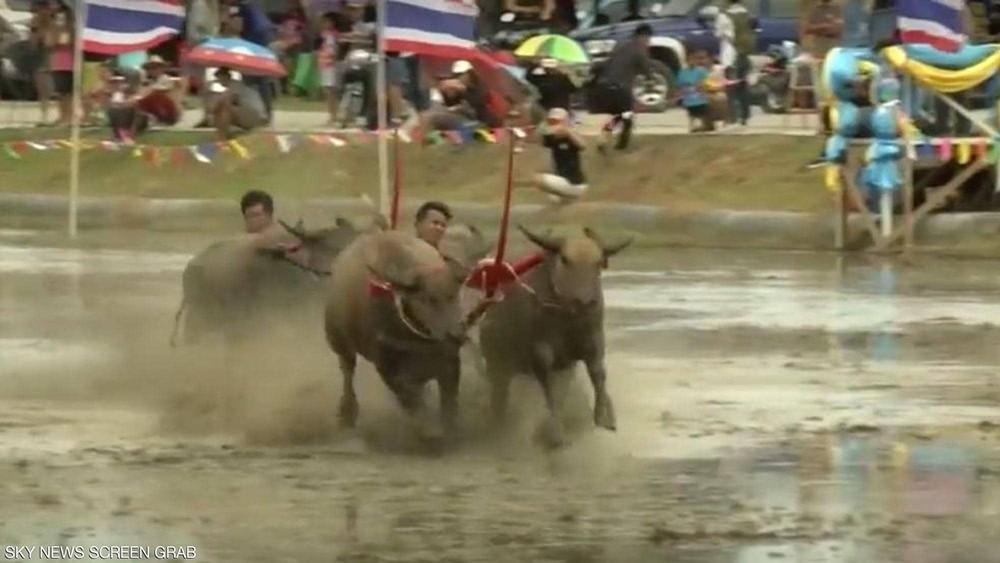 سباق الجواميس.. موروث تقليدي في تايلاند