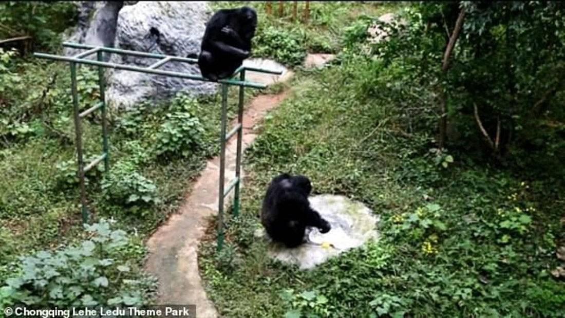 """يفعل """"ما لا يمكن تصوره"""".. """"عبقرية الشمبانزي"""" في فيديو"""