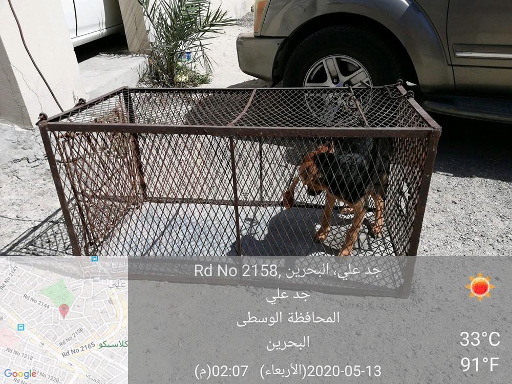 """بالصورة: """"الحيوانية"""" تعقب على شكوى بـ """"البلاد"""": اصطياد كلاب جدعلي"""