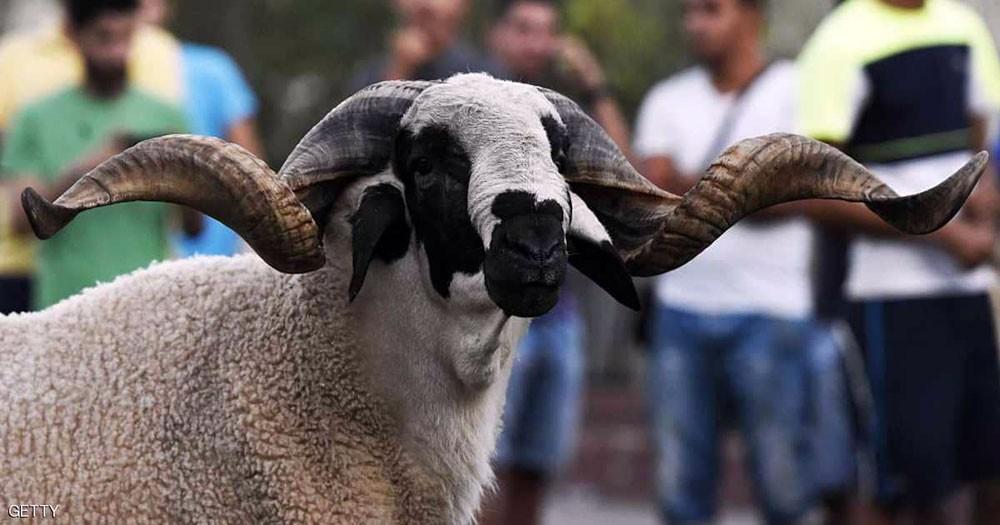 كبش العيد ينطح الجزائريين والمغاربة