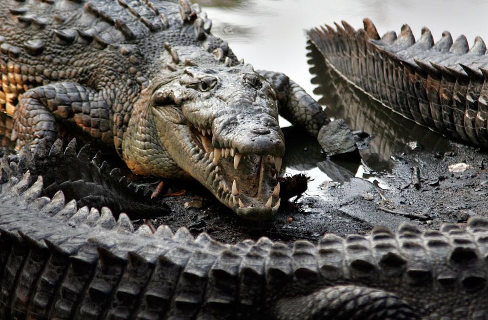 تمساح يلتهم امرأة ورضيعها