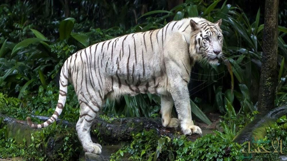 النمر الأبيض ينهش حارسه ويقتله