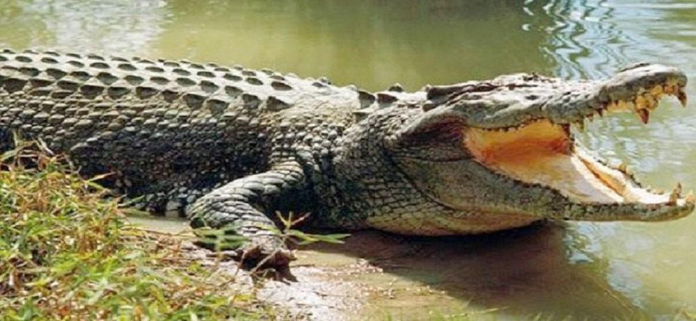 هندي أراد الاغتسال في النهر فابتلعه تمساح