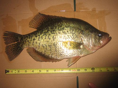 little_fish