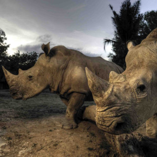 Rhinos in cloudy skies