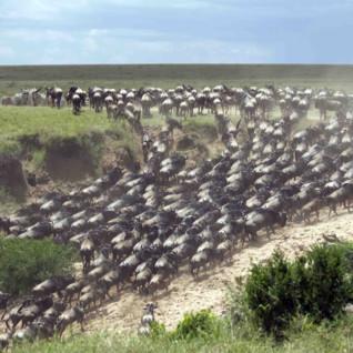 Wildebeest migrating through Kenya