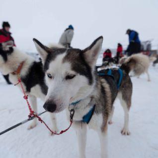Huskies, Swedish Lapland