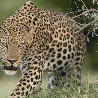 Leopard, Botswana