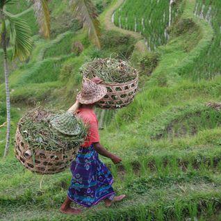 A rice paddy farmer in Bali