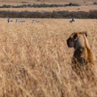 gorongosa lioness
