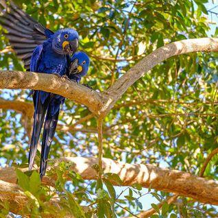 Parrots in tree