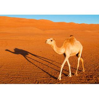Camel Listing Image