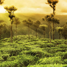View across a Sri Lanka Tea Plantation