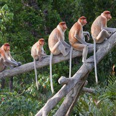 Proboscis Monkeys on tree