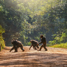 chimpanzee crossing the road in Uganda