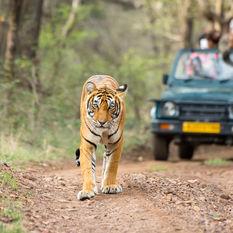 tiger ranthambore
