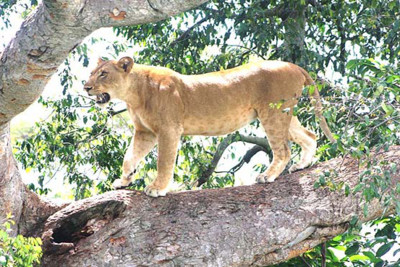 A lion in Uganda, Africa