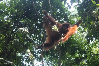 An orangutan in the trees