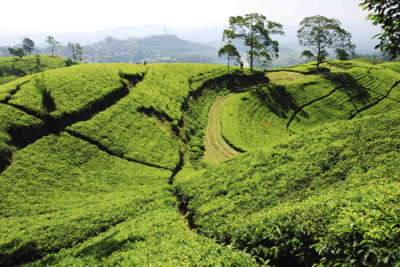 java-tea-field