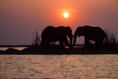 elephants on botswana safari at sunset