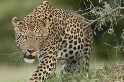 leopard in Botswana Safari