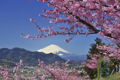 Cheryy Blossom in Japan