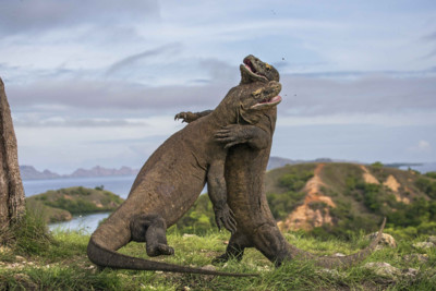 Komodo Dragons Fighting