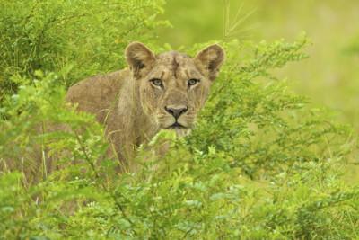 Zambia's Liuwa Plain lioness
