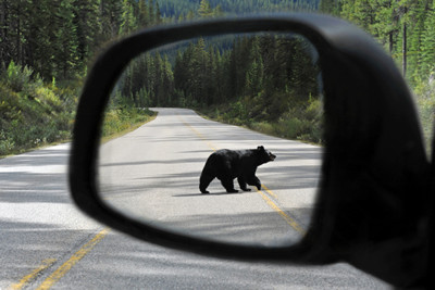 Canada Road Trip Bear View