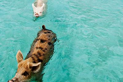 swimming_pigs_bahamas_carribbean